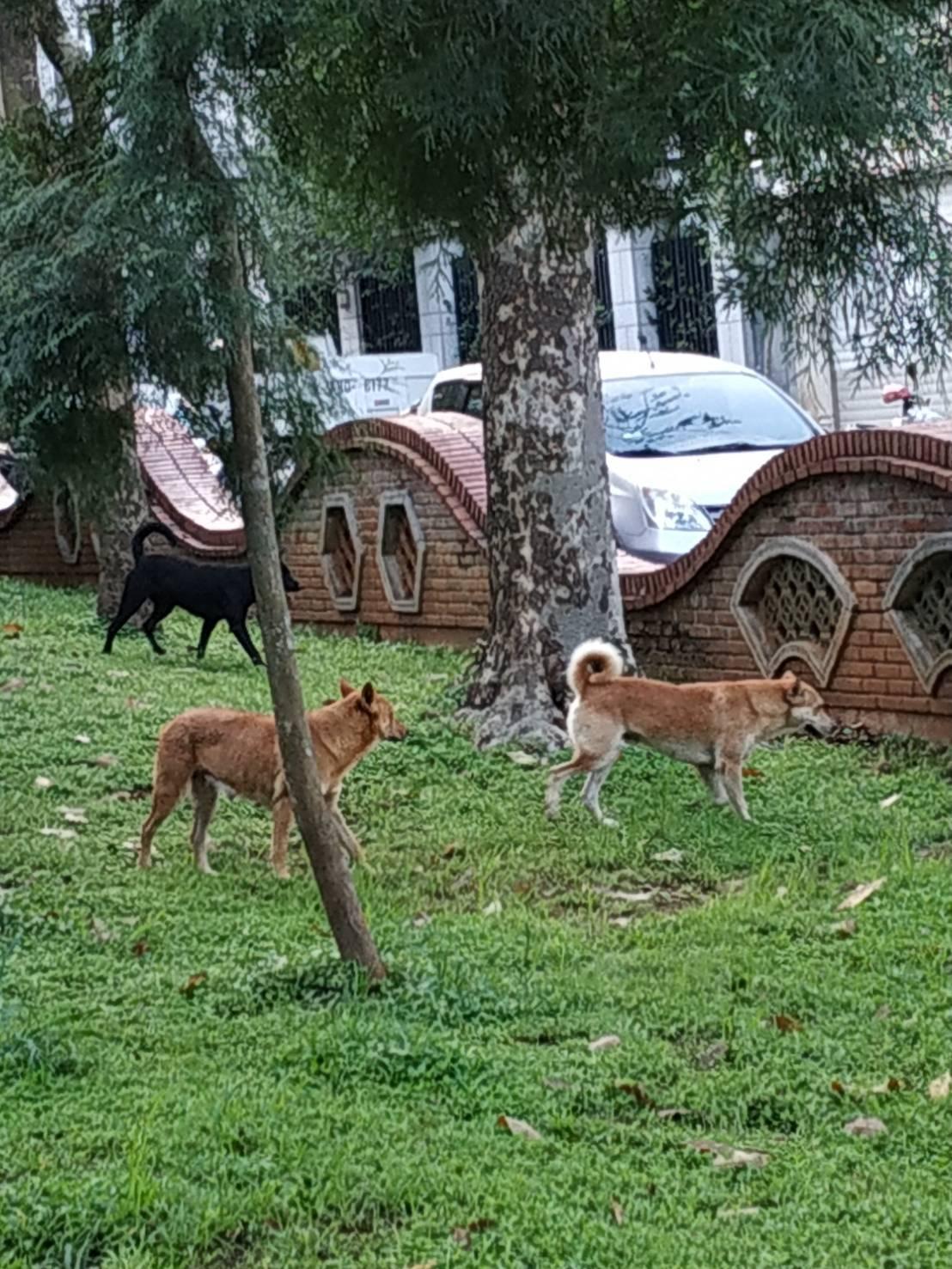 嘉義公園有流浪狗,議員蔡永泉接獲市民反映狗會追人很危險。照/蔡永泉提供
