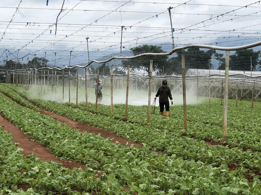 南投縣埔里蘿蔔不是被雨沖到露出地表、葉片破損,恐影響作物養分吸收,得靠人力加強施...