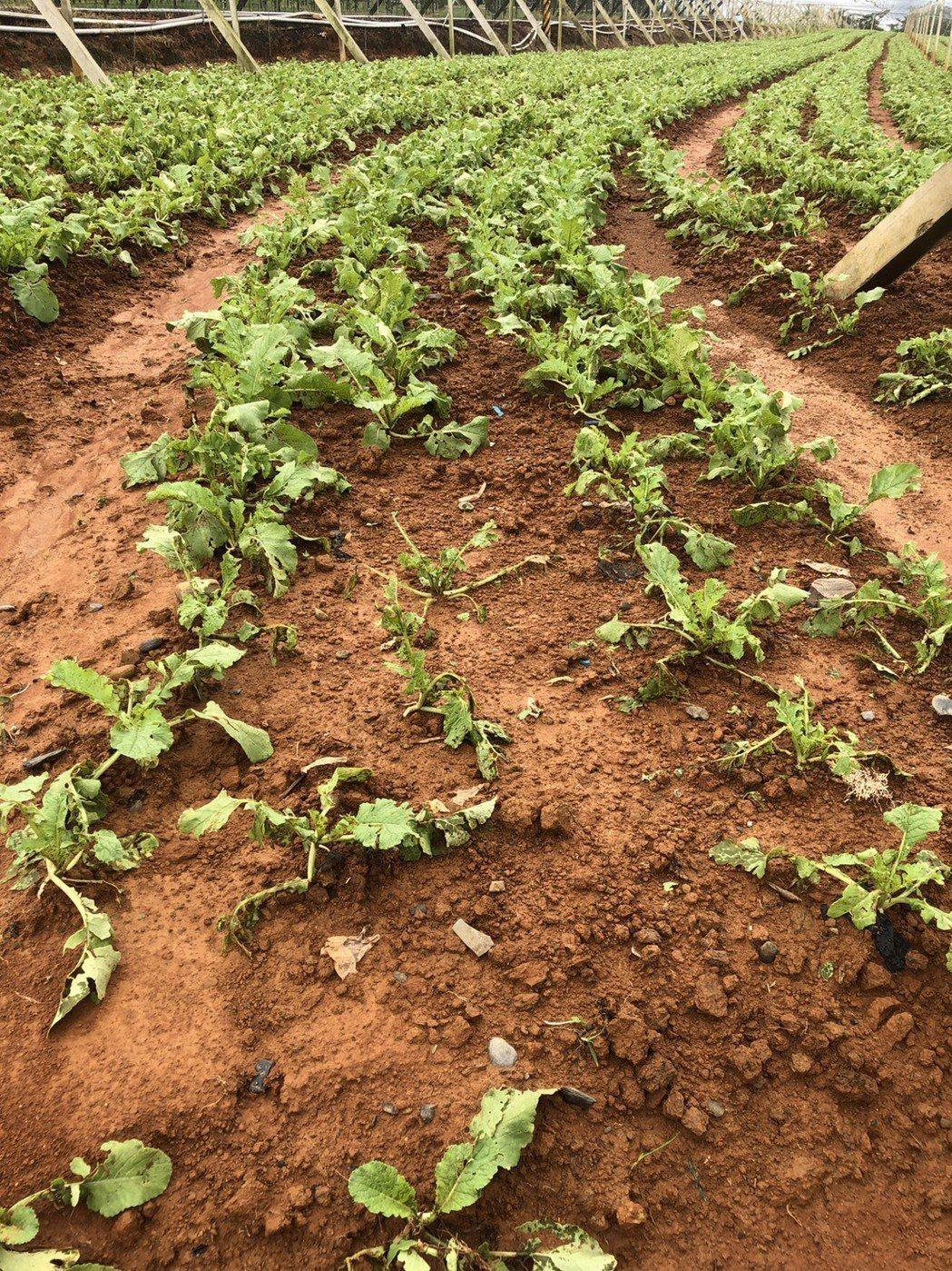 南投縣埔里蘿蔔不是被雨沖到露出地表,就是葉片破損,恐影響作物行光合作用及養分吸收...