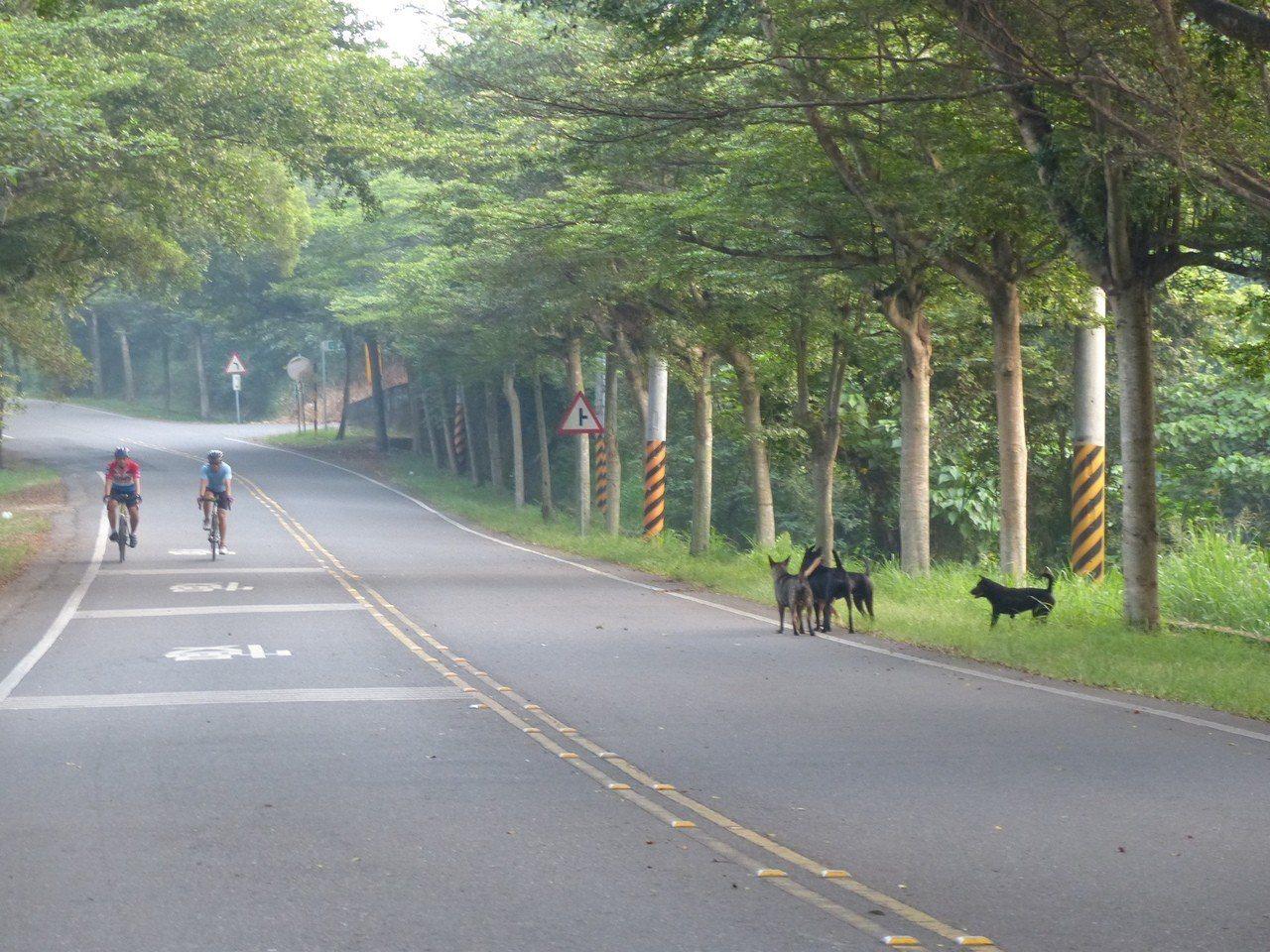 彰化縣八卦139線縣道流浪犬充斥,危及單車騎士的安全。本資料照片