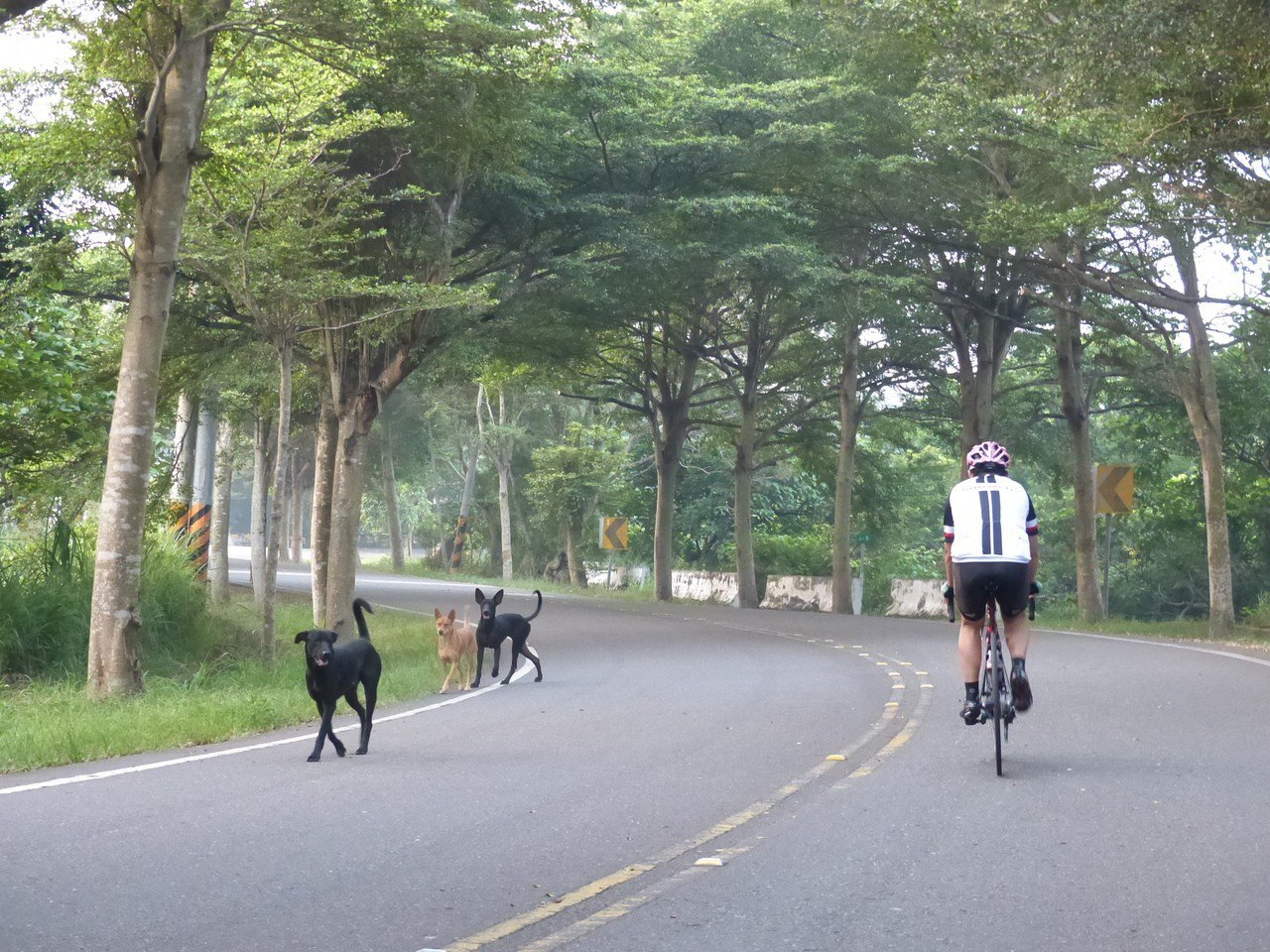 彰化縣八卦139線縣道流浪犬充斥,危及單車騎士的安全。本報資料照片