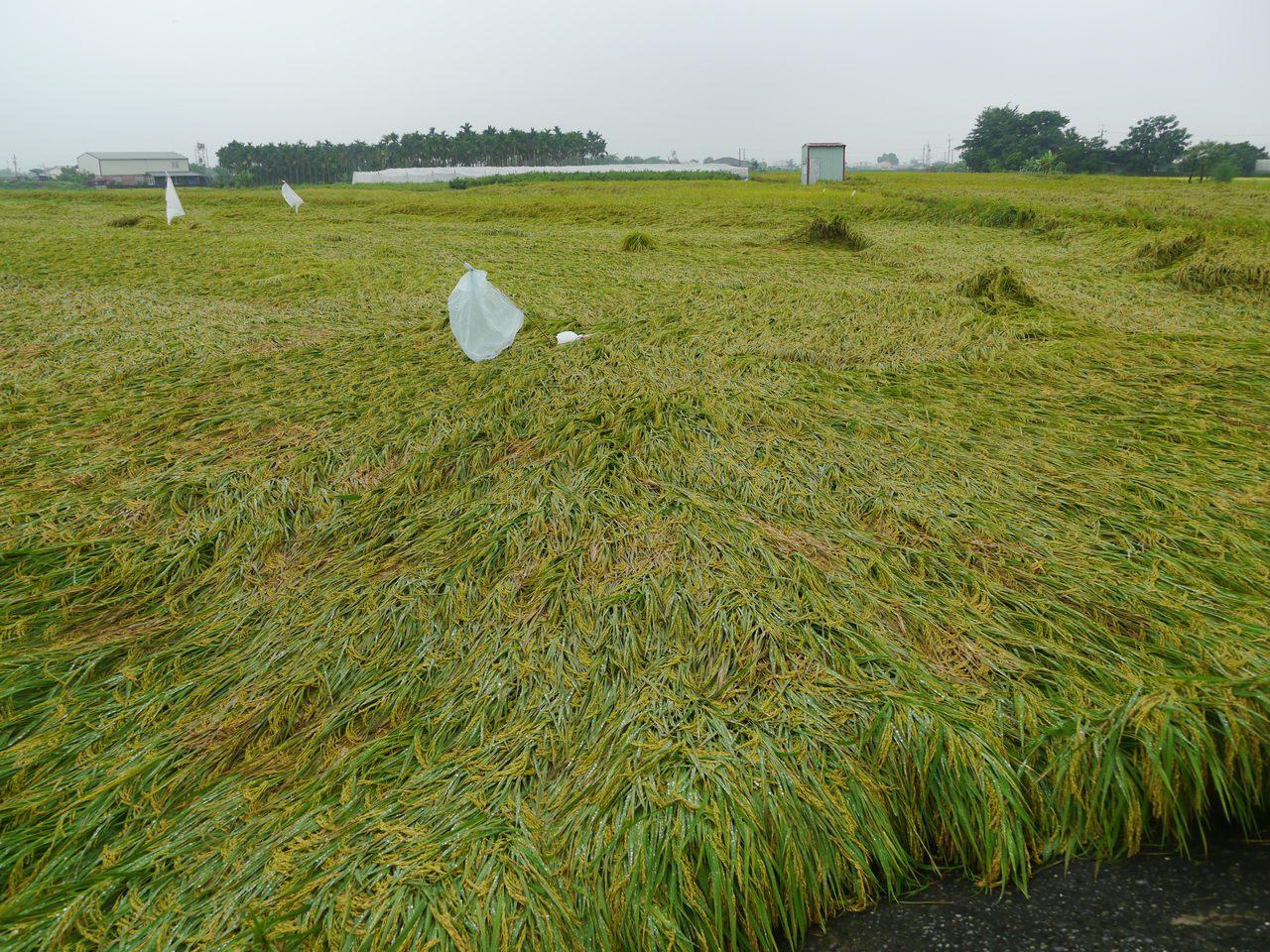 美濃稻田倒伏嚴重,初估面積高達300公頃。記者徐白櫻/攝影
