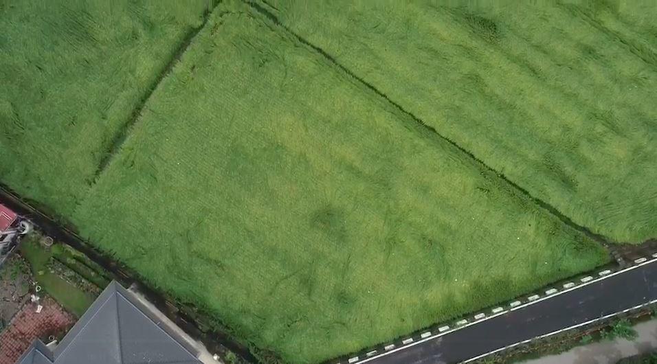 空拍畫面之二,地面稻田倒伏情況嚴重。記者徐白櫻/翻攝