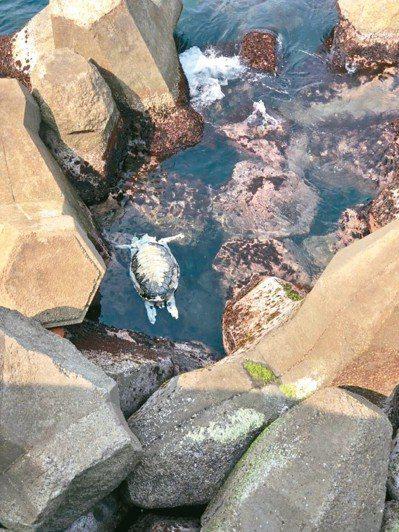 據海洋保育署統計,今年第一季共有八十二隻海龜死亡,較去年同期增加四十四隻。 圖/...