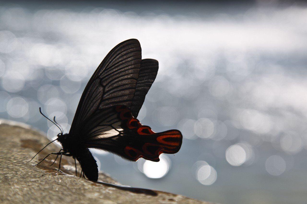 5月至8月是寬尾鳳蝶的出沒季節,常有遊客到鳩之澤等待捕捉生態美景。圖/羅東林管處...