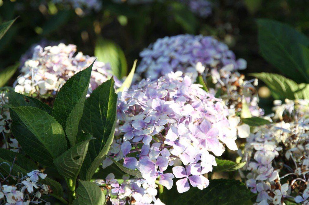 苗栗縣一年四季有不同景色可欣賞,繡球花依品種、氣候條件,花期在每年的4月中旬到6...