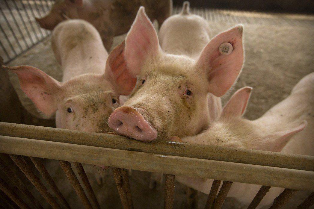 中國河北省一處養豬場內的豬隻。  美聯社