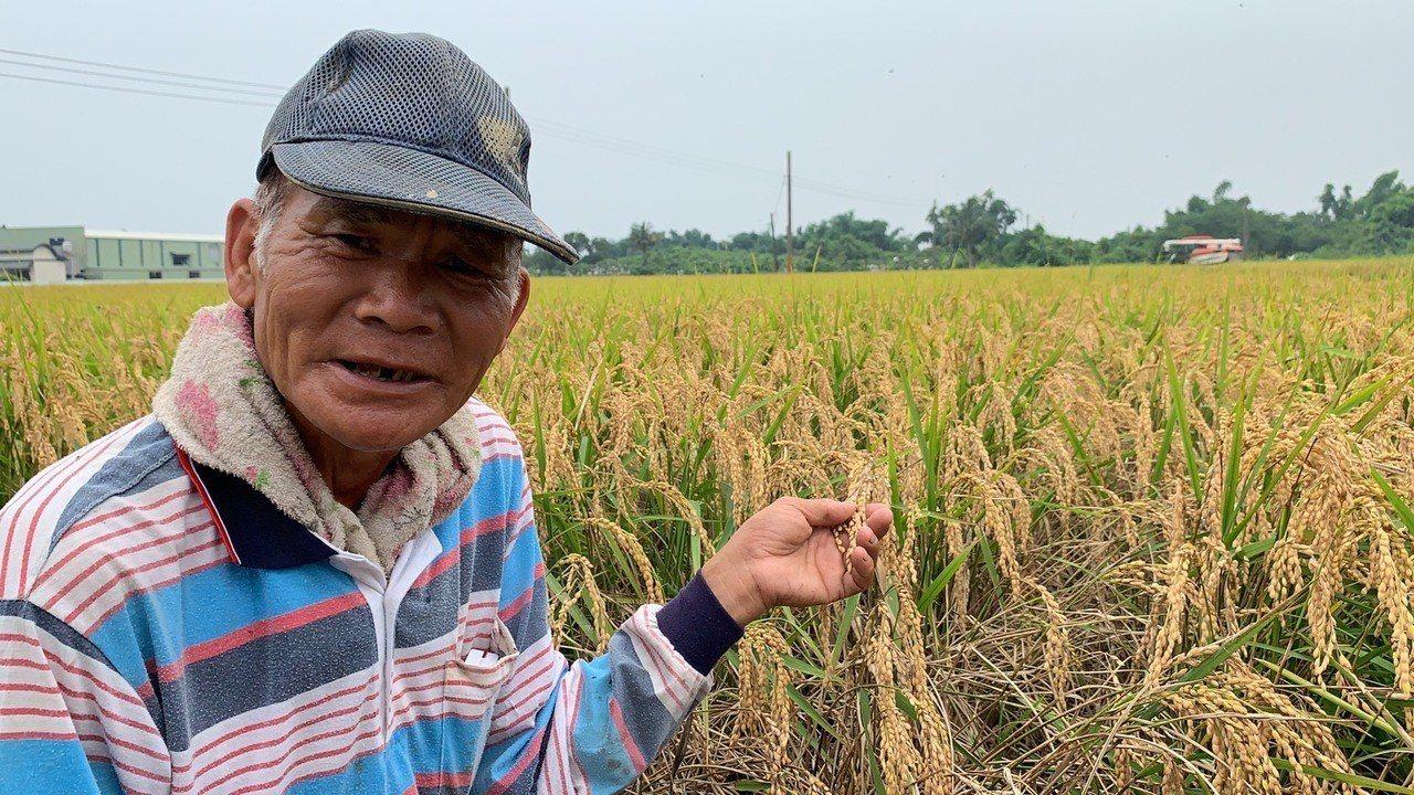 台南官田區有農民的一期稻,因氣候及穗稻熱病影響,出現大量空包彈。記者吳淑玲/攝影