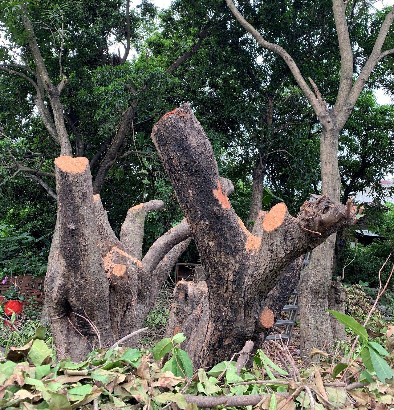 有百年樹齡的白蓮霧樹主要枝幹均已被砍掉。記者吳淑玲/攝影