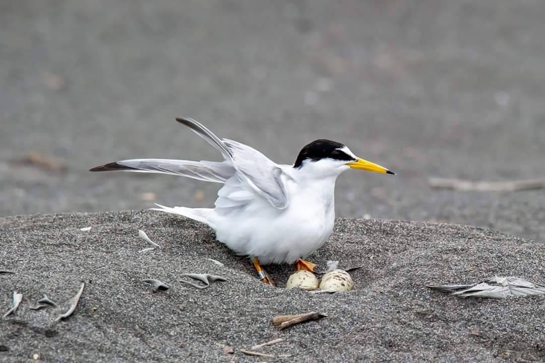 長期記錄宜蘭生態的賴姓鳥友發現,在五結鄉海邊,最近出現大群交配與繁殖的燕鷗們,已...