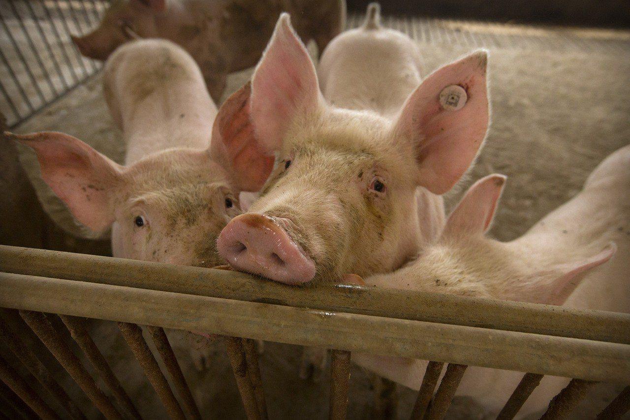中國河北省一處養豬場內的豬隻。美聯社