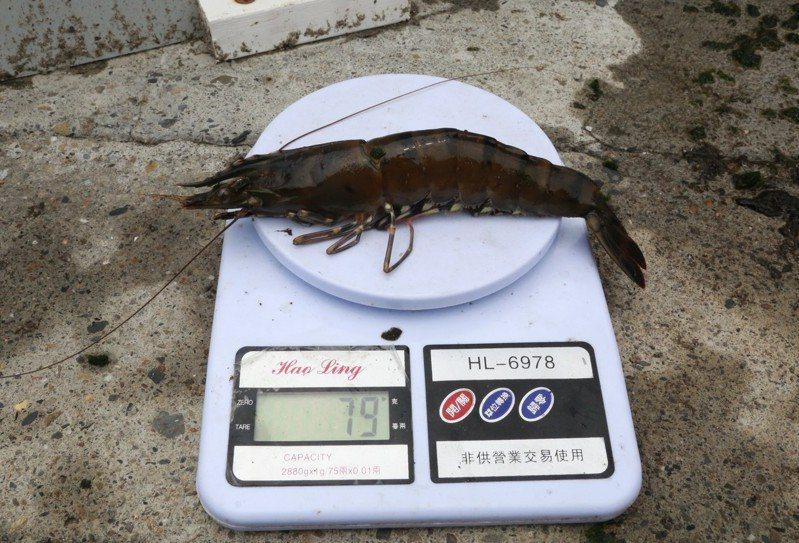 中山大學研究團隊運用AI養蝦可讓蝦隻增肥三成,校內智慧養殖池撈出重達約8尾斤(79公克)的草蝦。記者徐如宜/攝影