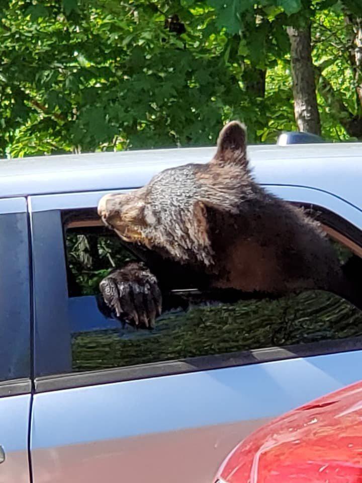 小熊將頭探出車窗外,像要去兜風一樣。圖擷自臉書