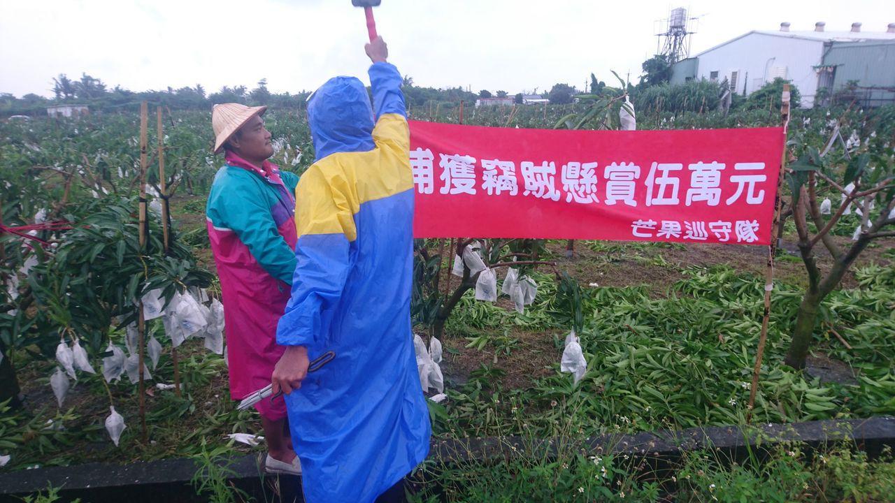台東一戶專門栽種「夏雪芒果」的游姓果農,由於正值採收期,近日不時發現芒果採收量銳...