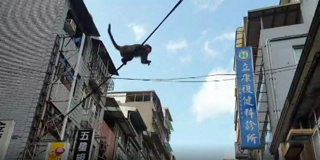 台灣獼猴在下午在義二路鬧區的招牌上上下下,還用單手拉電線桿穿梭市區,有如特技表演...
