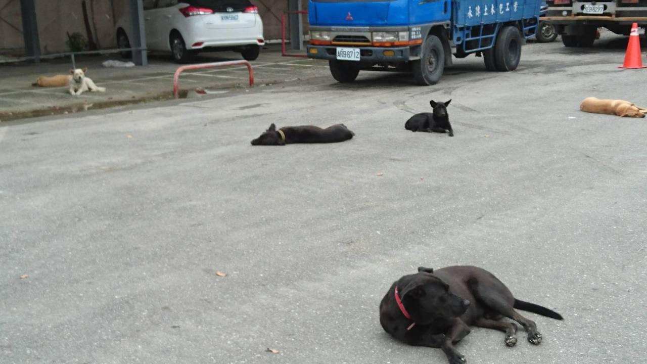 被解開木棍後,小白悠閒的跟其他流浪狗躺在體育場附近空地上。記者羅紹平/攝影