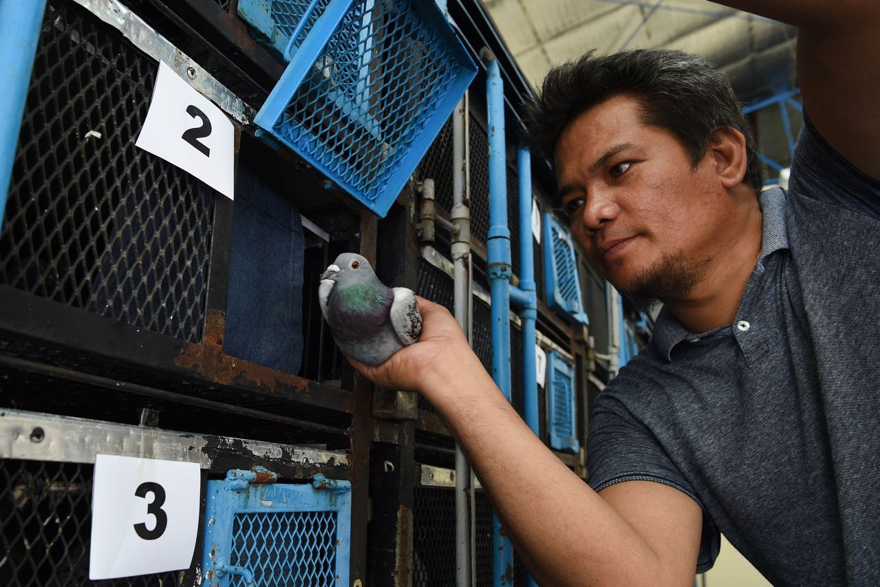 菲律賓賽鴿協會員工將一隻預定參加麥克阿瑟鴿賽的賽鴿裝進鴿籠裡。 (法新社)