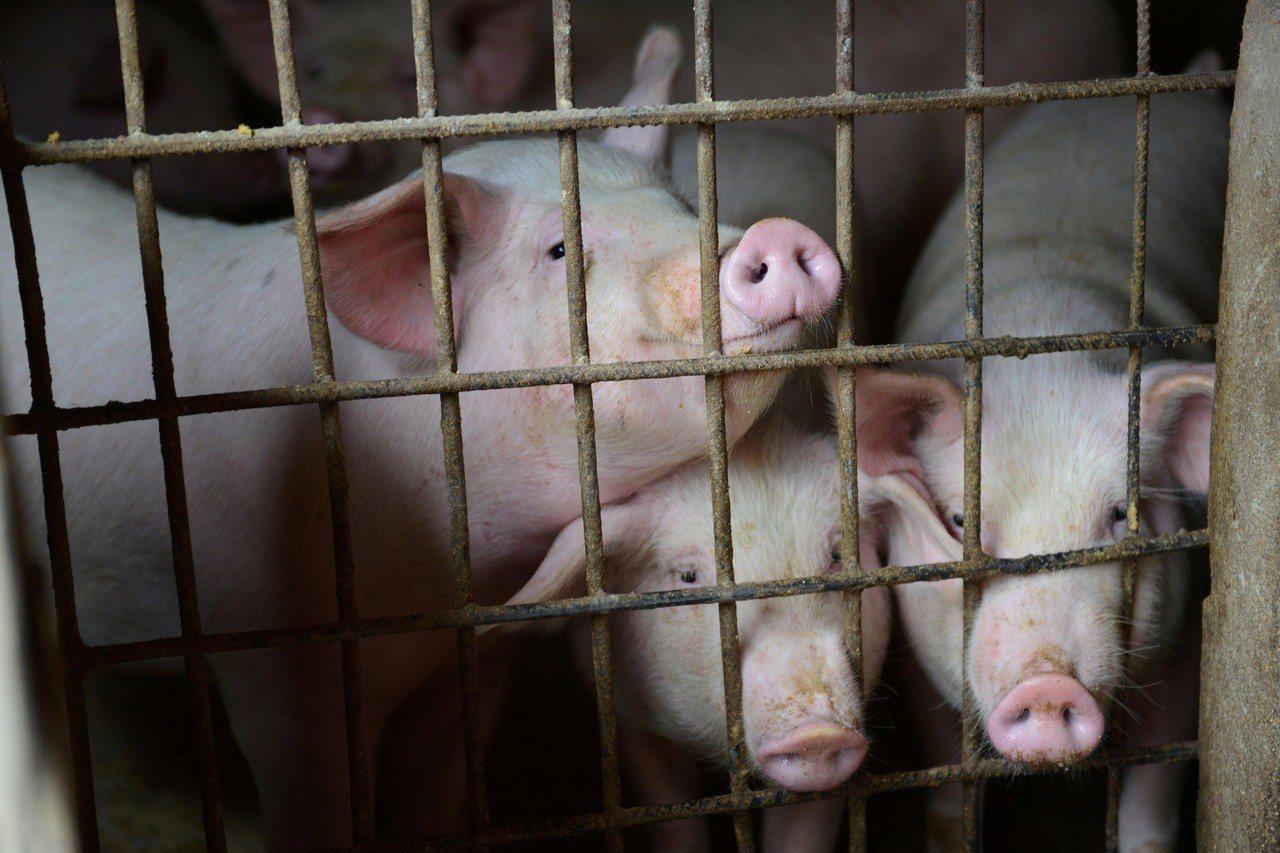中國積極研發非洲豬瘟疫苗,圖為安徽阜陽一處豬舍。(路透)