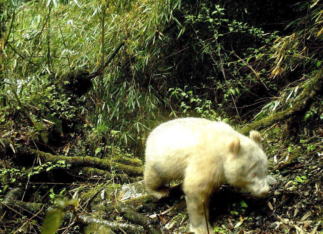 5月25日,四川臥龍國家級自然保護區管理局對外發佈全球首張白色大貓熊照片。 中新...