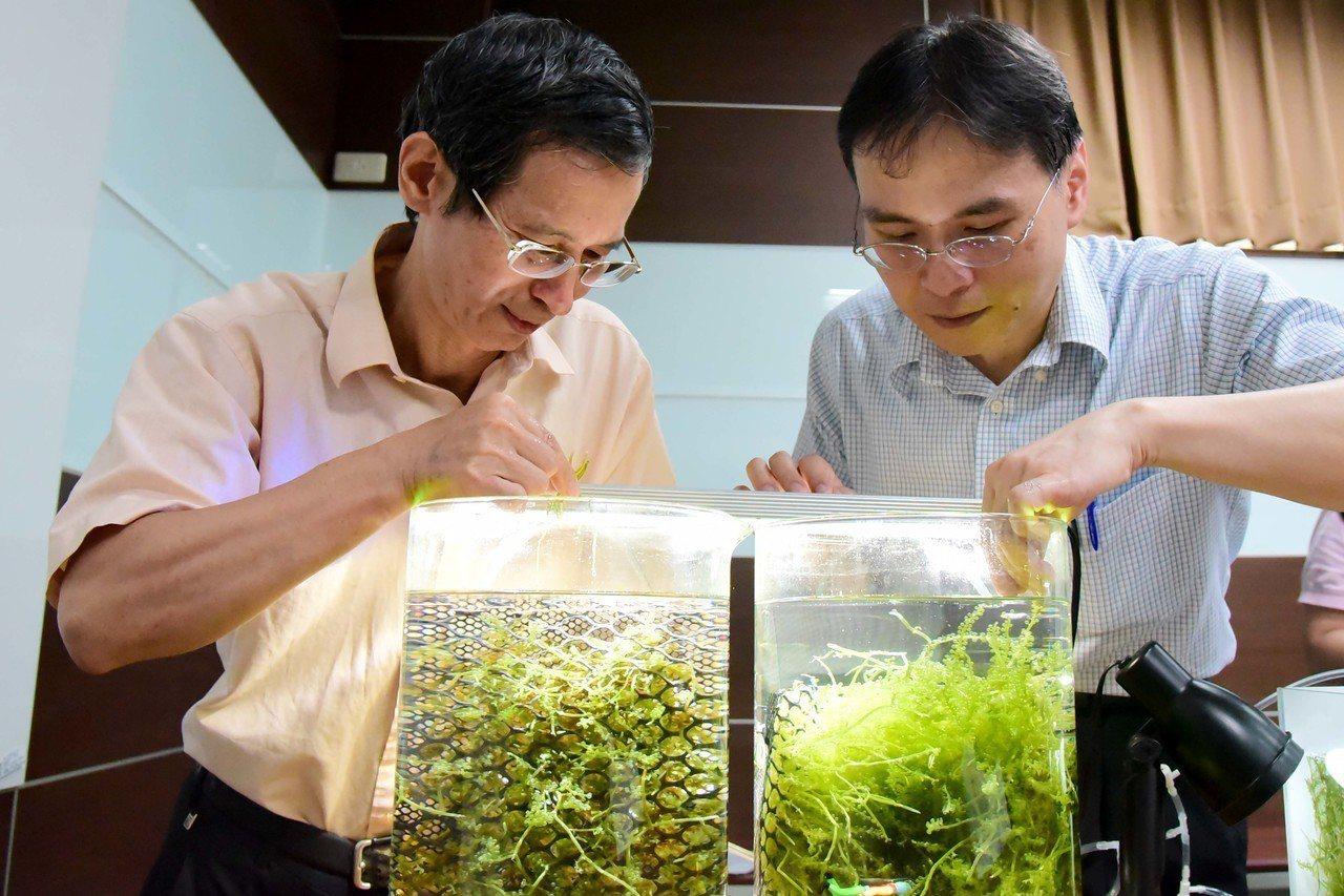 屏科大農學院長陳福旗(左)與海洋大學助理教授李孟洲(右)觀察小葉蕨藻。圖/屏科大...