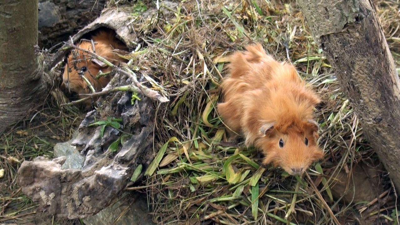 轉化為賞螢奇緣祕境的蔣宋美齡花園裡,現在飼養可愛的捲毛天竺鼠。記者王昭月/攝影