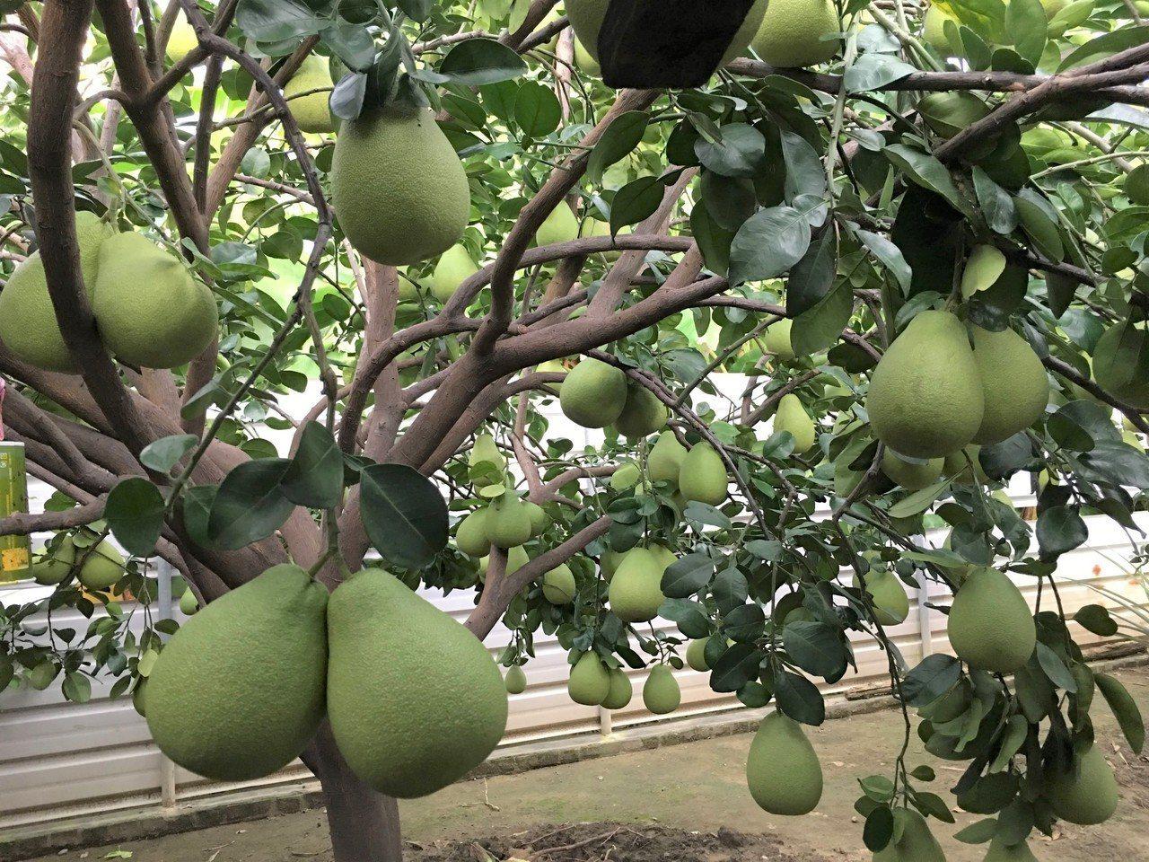 麻豆區農會啟動大果文旦收購申報。記者吳淑玲/攝影