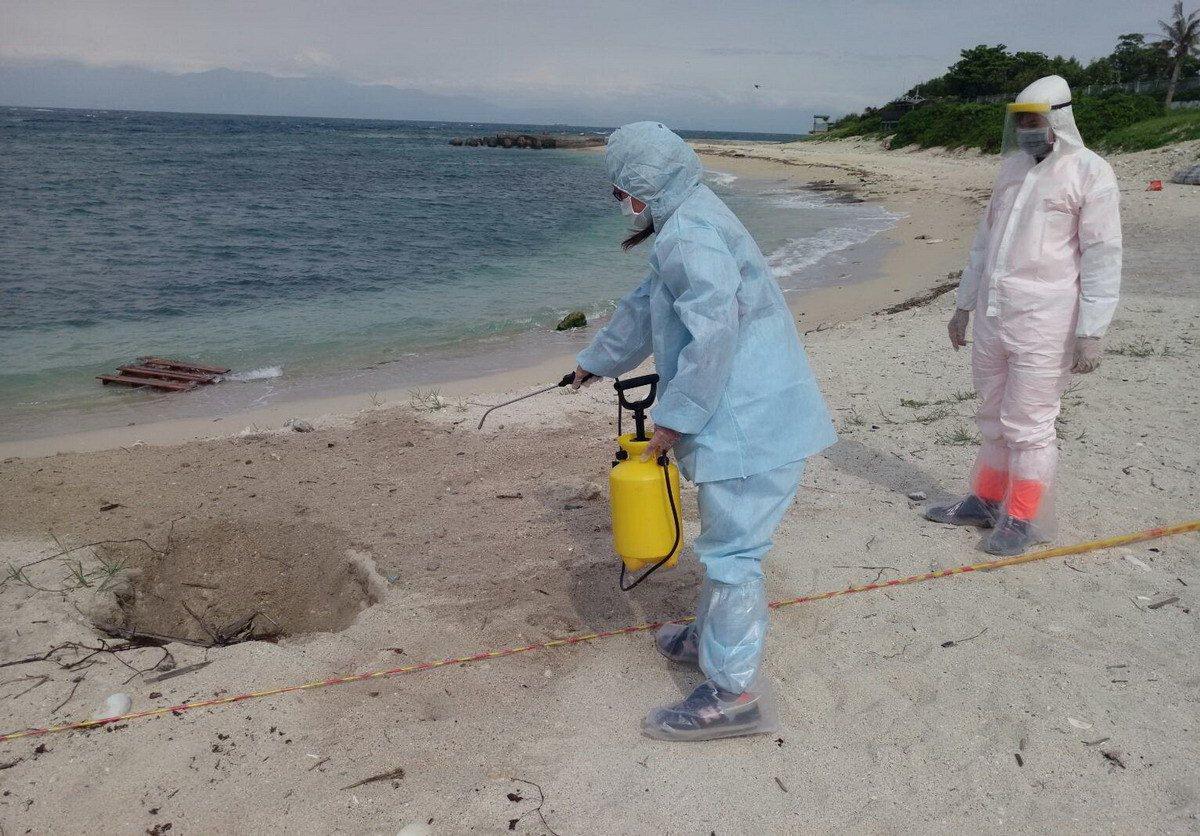 今天中午在琉球鄉中澳沙灘發現一隻豬屍,防疫人員立刻趕往現場消毒、採集檢體化驗並就...