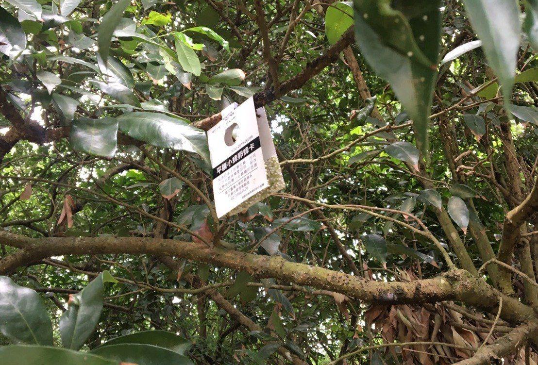 3所大學昆蟲系合作在八卦山脈員林、社頭山區,利用無人機空投平腹小蜂卵片到無人管理...