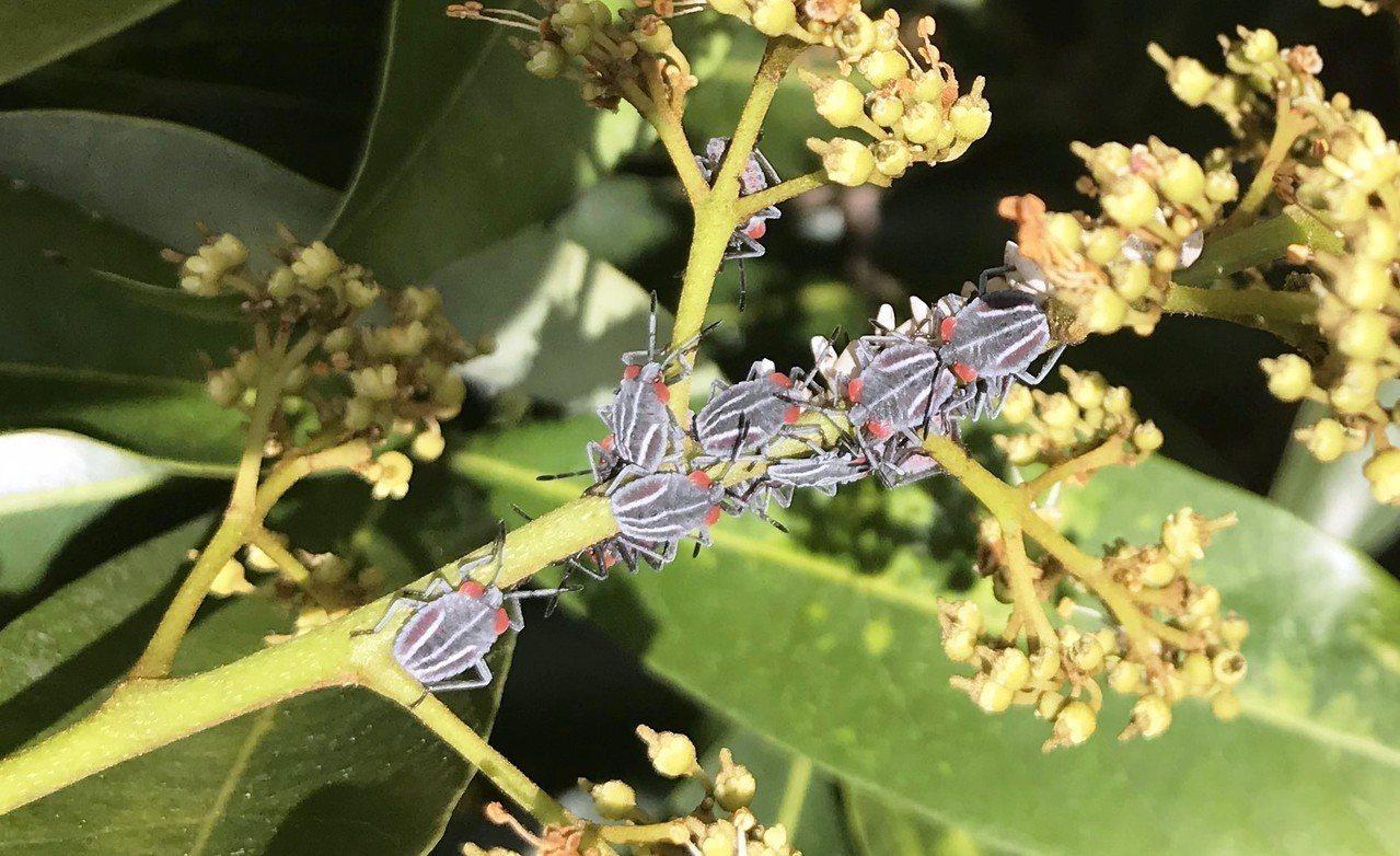 剛孵化的荔枝椿象一齡若蟲,成排在龍眼樹嫰枝上爬行。記者何烱榮/翻攝