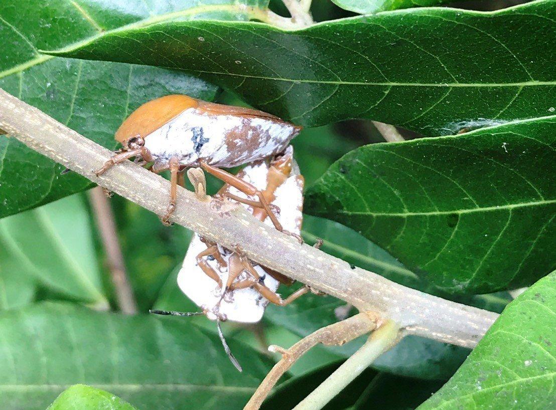 荔枝椿象若蟲的腹部若出現白色蠟質,就是快變成蟲了。記者何烱榮/翻攝