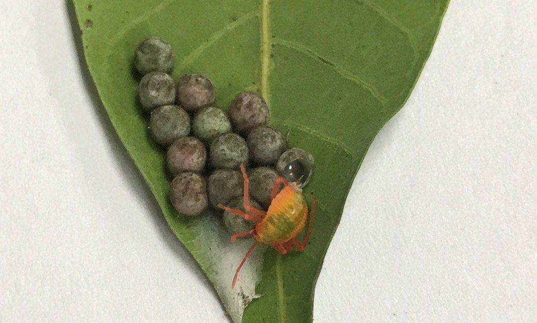 縣府收購的卵片,竟然有荔枝椿象剛孵化出來。記者何烱榮/翻攝