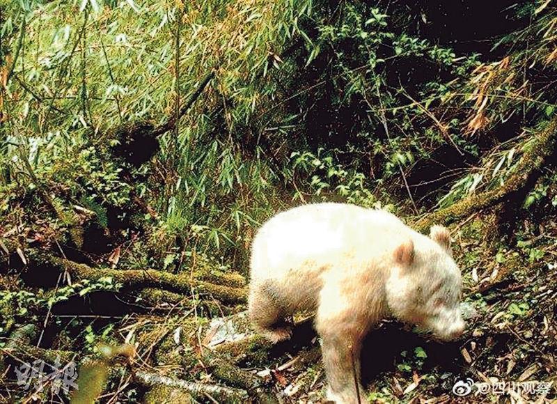 四川卧龍發現白化大貓熊。香港明報