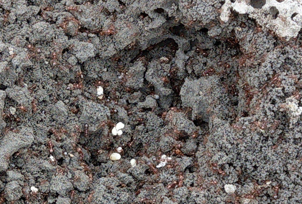 宜蘭被紅火蟻入侵,毒蟻傾巢而出,密密麻麻超恐怖。科學園區花海附近有10幾個蟻丘,...