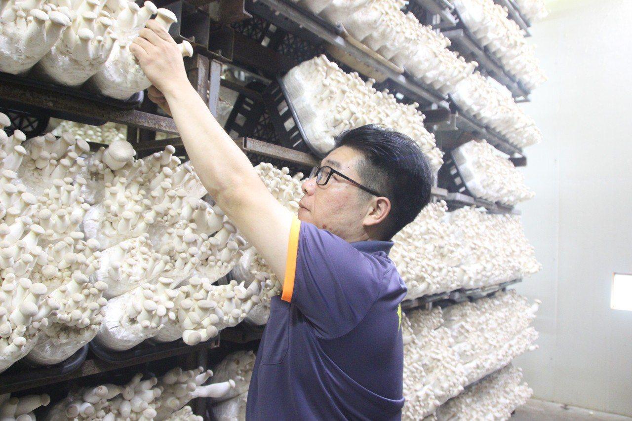 彰化農業師傅陳汶釜再養菇場工作外,也種芭樂、向日葵。記者林敬家/攝影