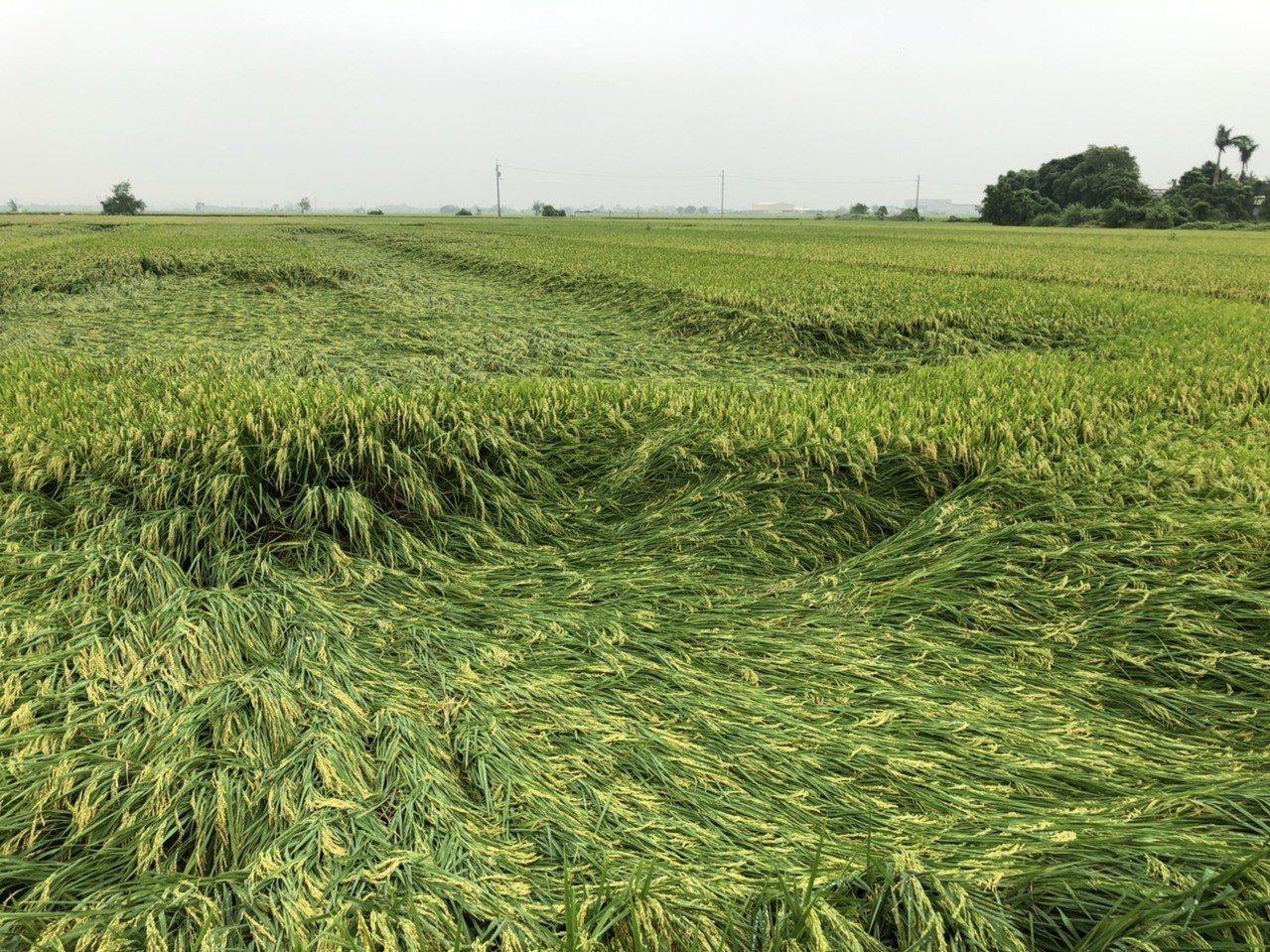 日前豪雨部分一期稻作倒伏情形。圖/台南市政府農業局提供