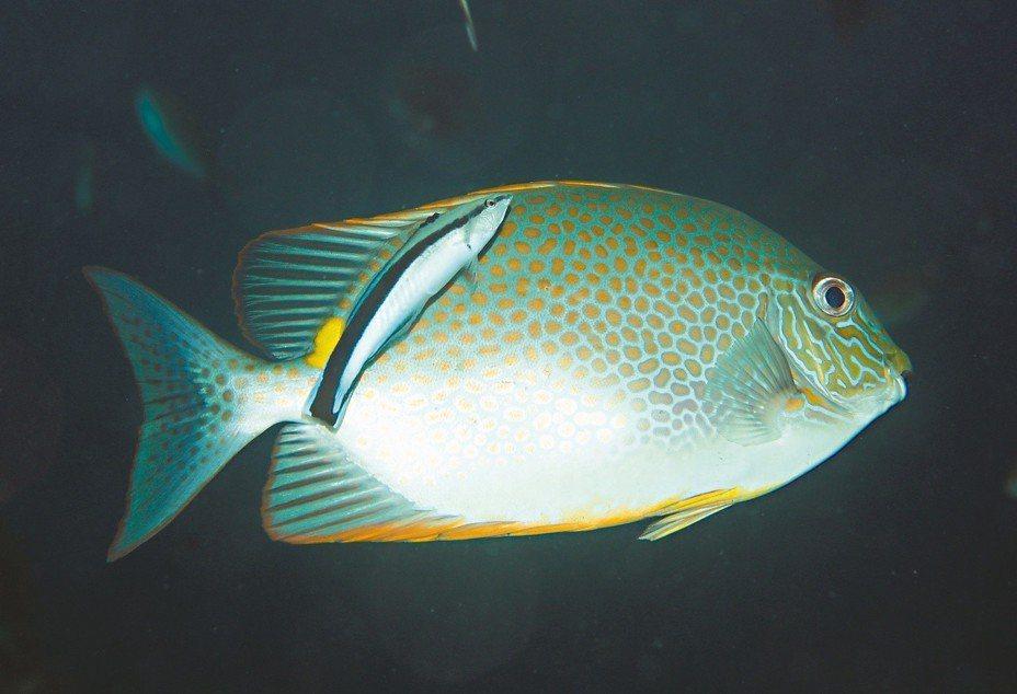 魚醫生檢查星斑臭肚魚。 攝影/布朗尼飛魚