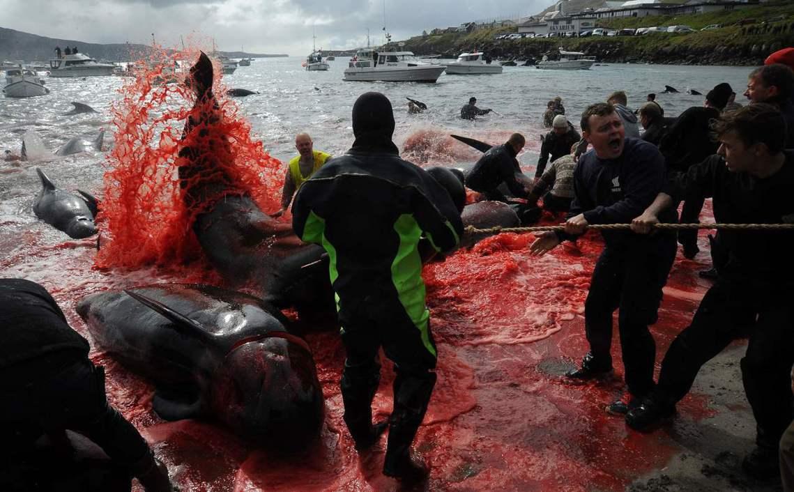 5月底,丹麥海外自治領地的法羅群島(Faroe Islands),進入捕殺領航鯨...