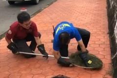 1.2公尺綠鬣蜥逛大街 警消使出包抄戰術逮捕