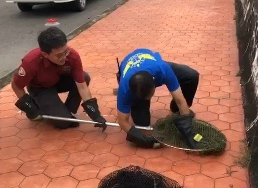 綠鬣蜥出沒嘉義市友忠公園,警消使出包抄戰術將其逮捕。記者姜宜菁/翻攝
