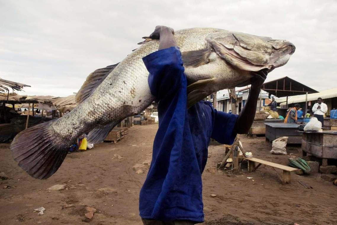 非洲維多利亞湖的尼羅河鱸魚(Nile Perch),是世界最大淡水魚之一。近年因...