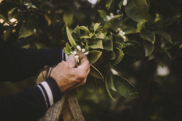 生長於南法的柑橘樹,其花朵手工摘下後,蒸餾成精華,成為LES EAUX淡香水「巴...