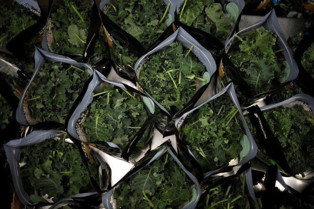 Sustenir農業公司生產的室內種植羽衣甘藍準備包裝配送到各超市。(路透)