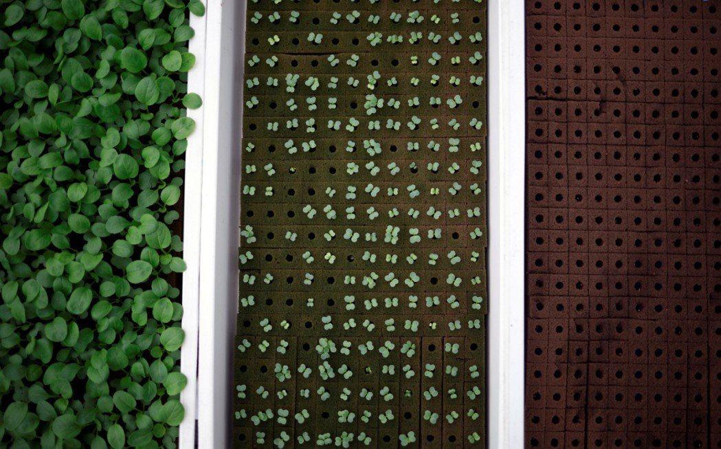 Comcorp公司在新加坡工業區的屋頂水耕農場,充分利用空間。(路透)