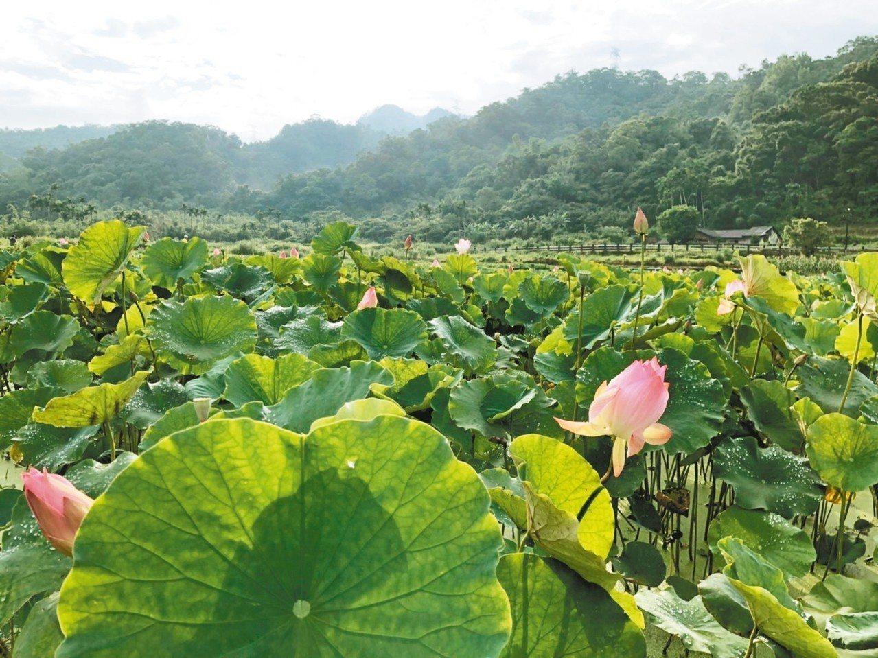 荷花季正要開始,有紅、淡紅、粉紅、粉白等花色。 圖/新北市景觀處提供