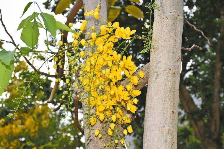 阿勃勒像一串黃色風鈴,垂掛在樹枝上隨風搖曳。 記者江婉儀/攝影