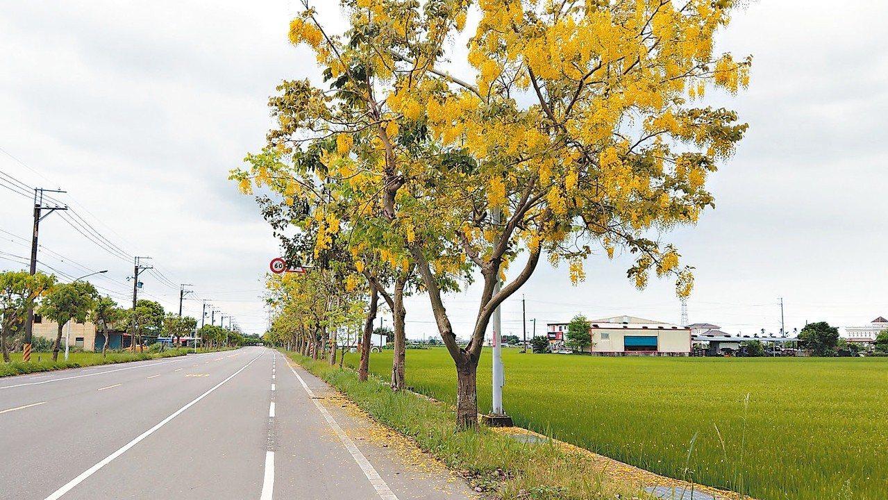 宜蘭員山鄉通往大同鄉的省道兩旁種滿阿勃勒樹,最近正值開花期,樹枝掛滿金黃色的花朵...