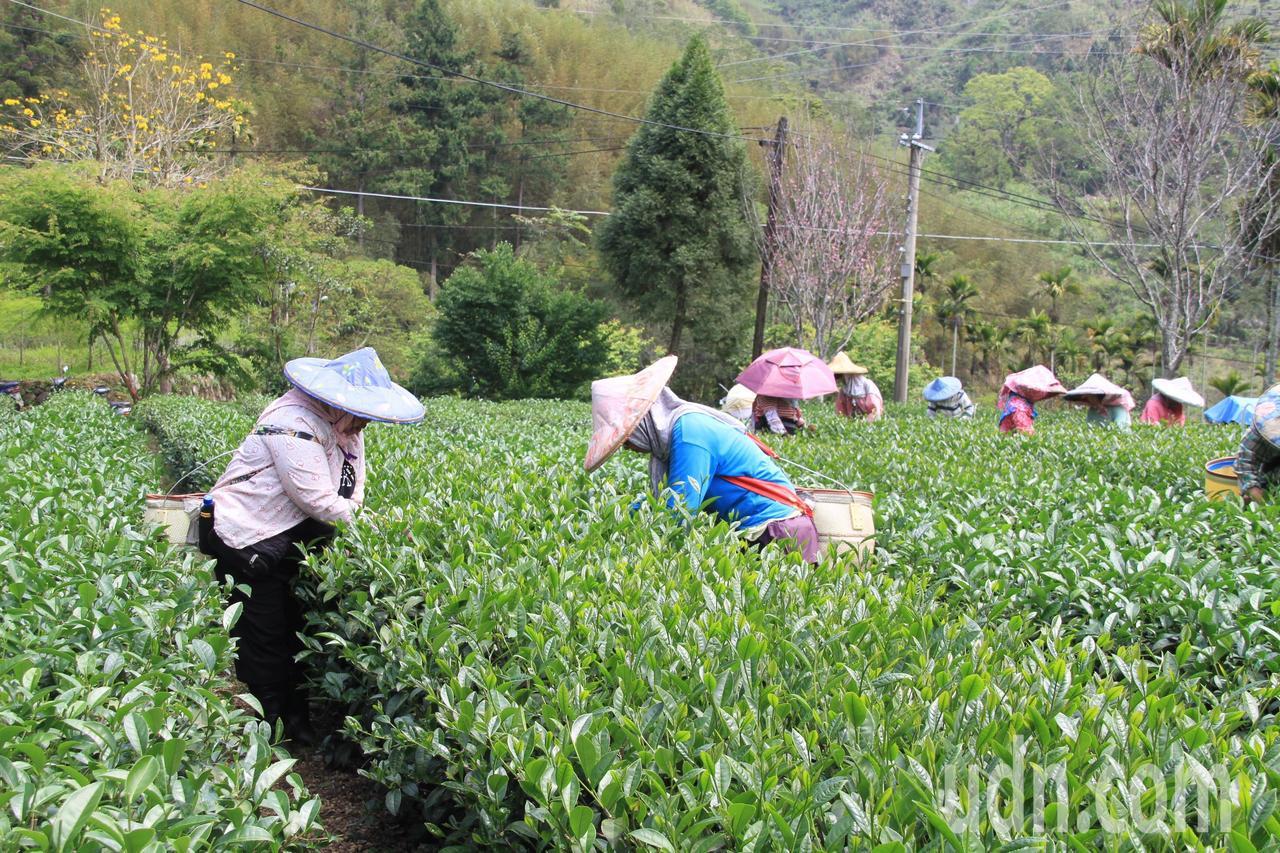 台灣茶農近年面對氣候變遷、人力不足困境。記者卜敏正/攝影