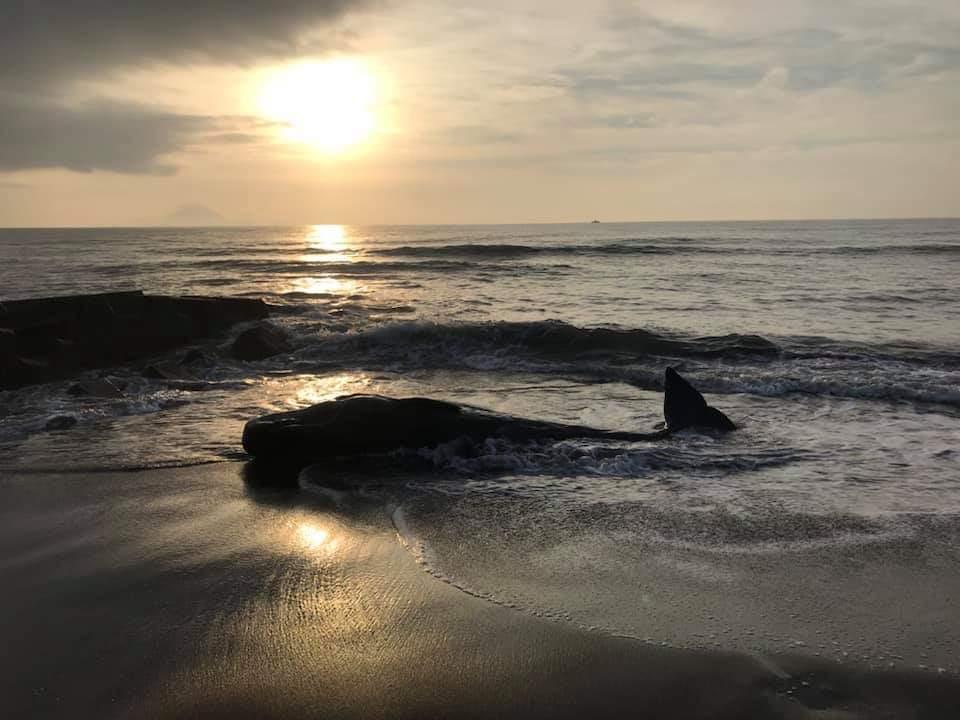 影/4米抹香鯨魂斷宜蘭海邊 今年以來這隻最大