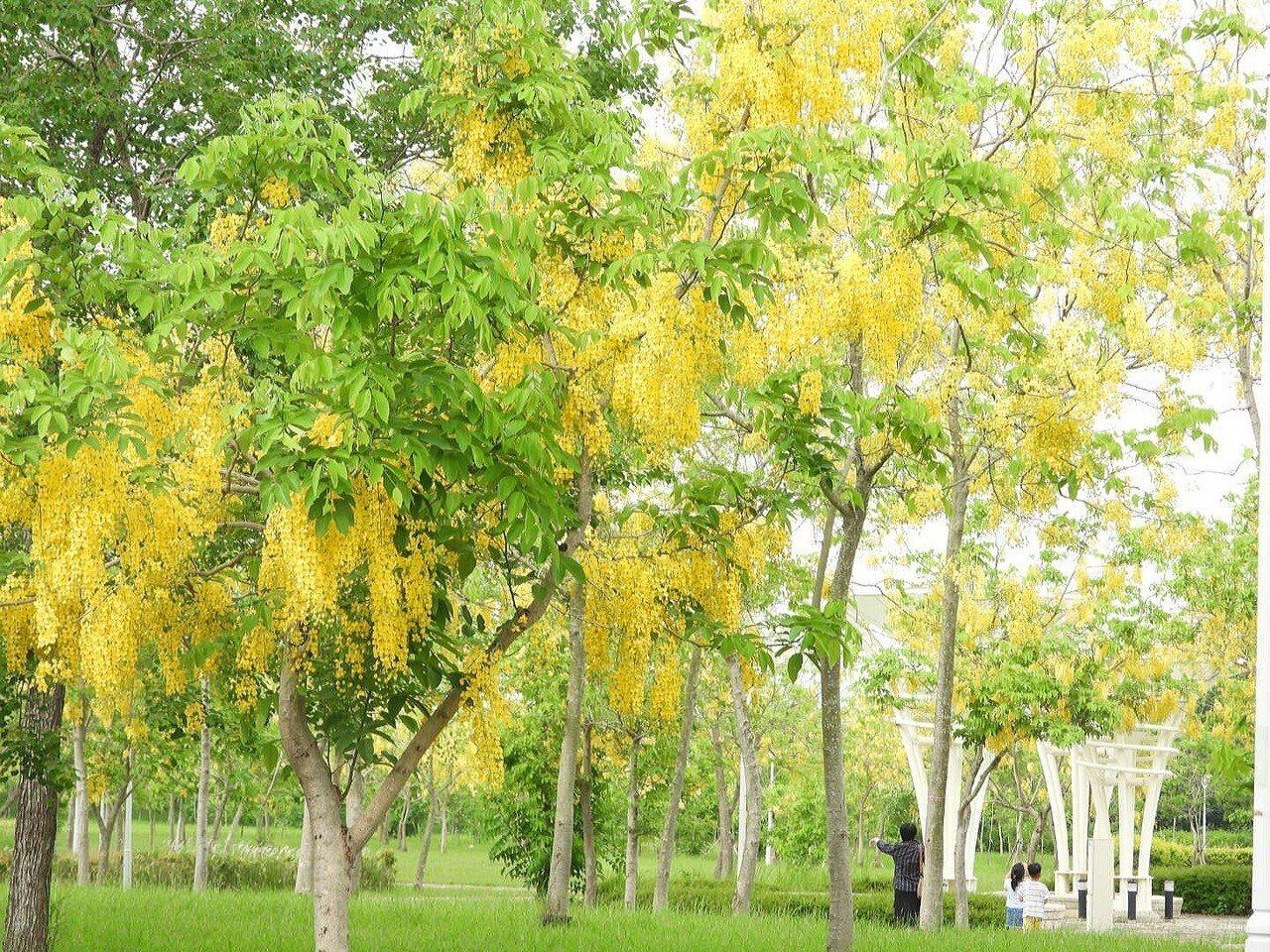 南科阿勃勒森林鮮黃花盛開,親子路過駐足觀賞。記者周宗禎/攝影