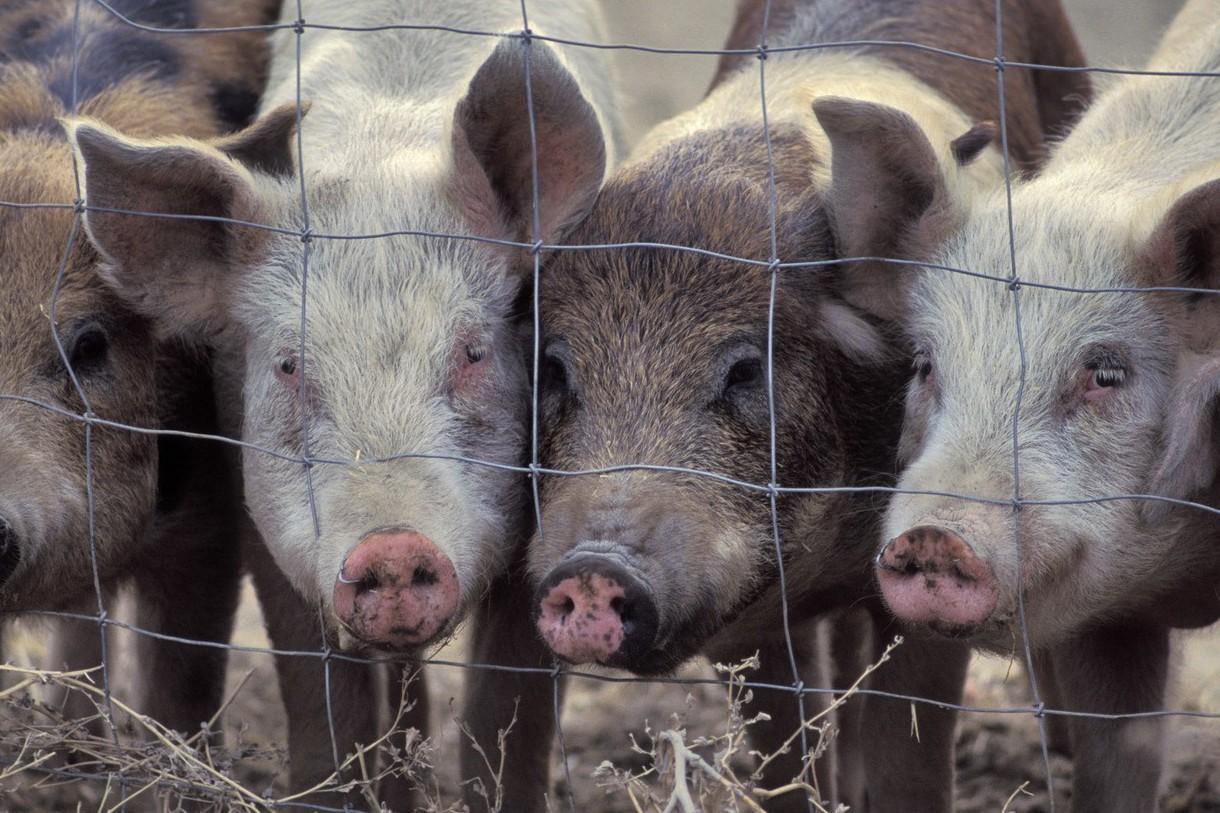 首度打破沉默 北韓官方宣稱已著手防堵非洲豬瘟